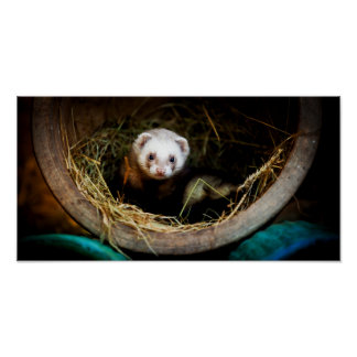 Ferret found a home in an old flower pot and straw poster