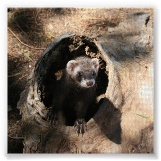 Ferret in a log poster