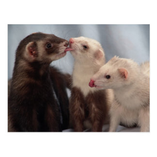 Ferret Love Postcard
