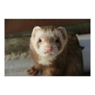 Ferret poster close-up