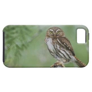 Ferruginous Pygmy-Owl, Glaucidium brasilianum, 3 iPhone 5 Case