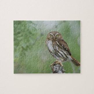 Ferruginous Pygmy-Owl, Glaucidium brasilianum, 3 Jigsaw Puzzle