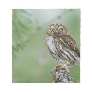 Ferruginous Pygmy-Owl, Glaucidium brasilianum, 3 Notepad