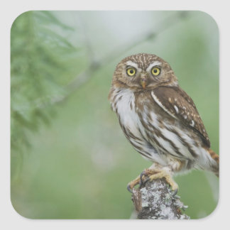 Ferruginous Pygmy-Owl, Glaucidium brasilianum, 3 Square Sticker