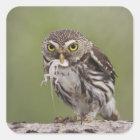 Ferruginous Pygmy-Owl, Glaucidium brasilianum, 5 Square Sticker