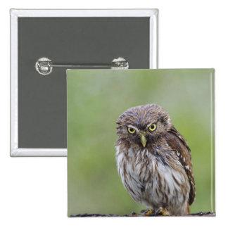Ferruginous Pygmy-Owl, Glaucidium brasilianum, 6 15 Cm Square Badge