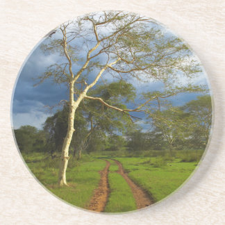 Fever Tree (Acacia Xanthophloea) By Dirt Track Drink Coaster