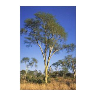 Fever Tree (Acacia Xanthophloea), Punda Maria Gallery Wrap Canvas