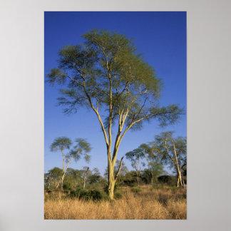 Fever Tree (Acacia Xanthophloea), Punda Maria Posters