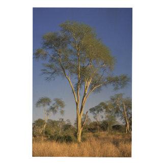 Fever Tree (Acacia Xanthophloea), Punda Maria Wood Canvas