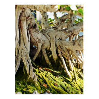 Ficus Banyan Bonsai Tree Roots Postcard