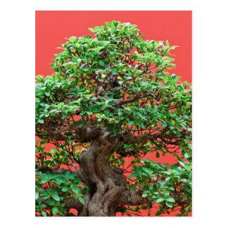 Ficus bonsai postcard