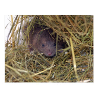 Field Mouse Postcard. Postcard