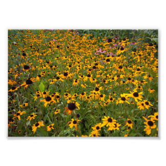 Field of Brown-eyed Susan flowers. Photograph