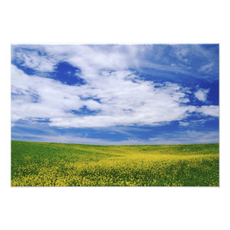 Field of Canola or Mustard flowers, Palouse Photo Print