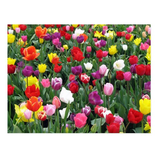 Field of Colourful Tulips Postcard