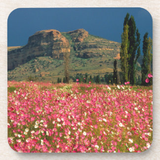Field of Cosmos flowers, Fouriesburg District Beverage Coaster