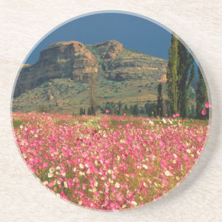 Field of Cosmos flowers, Fouriesburg District Beverage Coasters