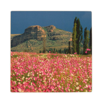 Field of Cosmos flowers, Fouriesburg District Wood Coaster