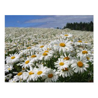 Field of daisies in Hokkaido Postcard
