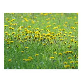 Field of Dandelions. Postcard