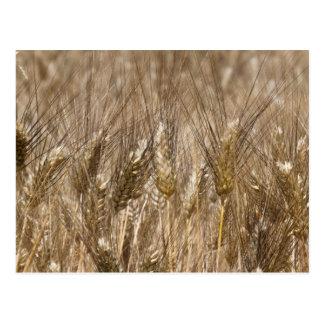 Field of ears of wheat postcard