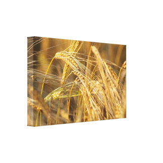 Field of gold (wheat ears) canvas print