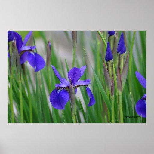 Field of Iris flowers. Poster
