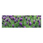 """Field of Lavender 26""""w x 8""""h Poster"""