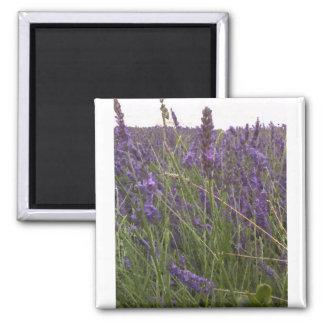 Field of Lavender Magnet