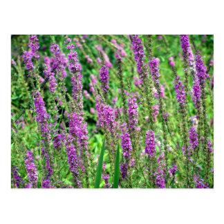 Field of Lavender Postcard
