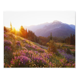 Field of lupine and Olympic Mountains at Photo Print