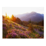 Field of lupine and Olympic Mountains at Postcard