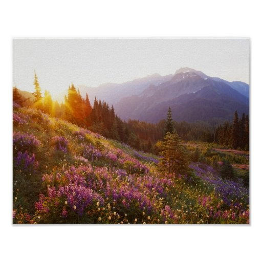 Field of lupine and Olympic Mountains at Poster