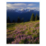 Field of lupine, Mt. Olympus, and clouds at Poster