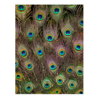 Field Of Peacock Feathers Postcard