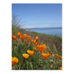 Field of Poppies Post Cards