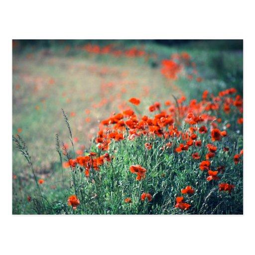 Field of Poppies | Postcard