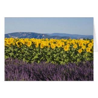 Field of sunflowers and lavender flowers, greeting card