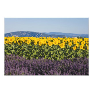 Field of sunflowers and lavender flowers, photo print