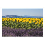 Field of sunflowers and lavender flowers, photograph