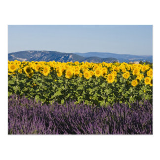 Field of sunflowers and lavender flowers, postcard
