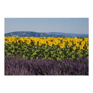 Field of sunflowers and lavender flowers, poster