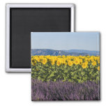 Field of sunflowers and lavender flowers, square magnet