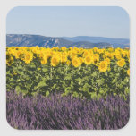 Field of sunflowers and lavender flowers, stickers