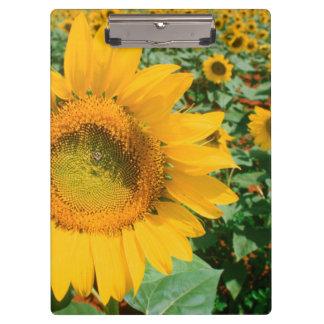 Field Of Sunflowers. Heidleberg District Clipboard