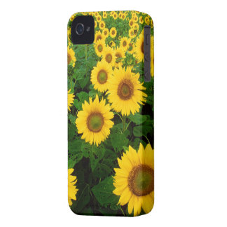 Field of Sunflowers iPhone 4 Cases