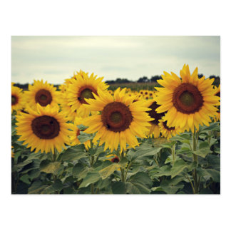Field of Sunflowers Postcard