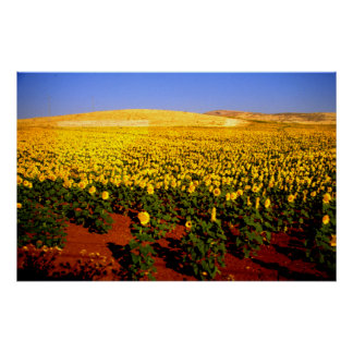 Field of sunflowers southern Spain Poster