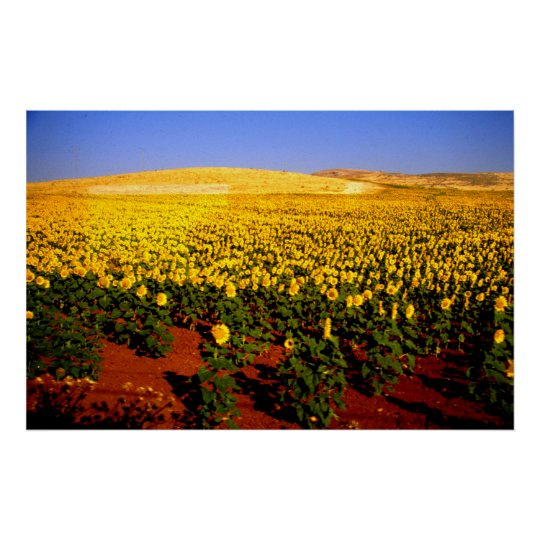 Field of sunflowers, southern Spain Poster
